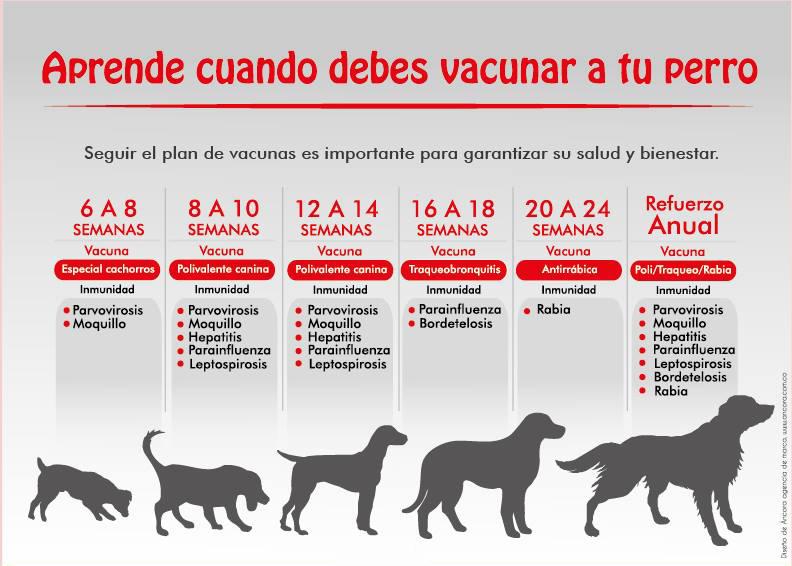Vacunas Gatos Calendario.Vacunas Para Nuestros Perros Calendario De Vacunacion