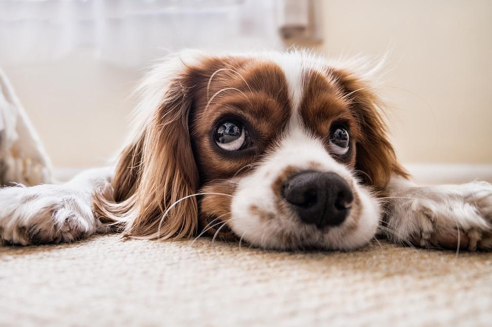 Desmintiendo mitos sobre los perros (parte I)