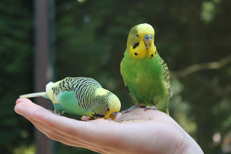Cuidado de aves: qué comen las psitácidas