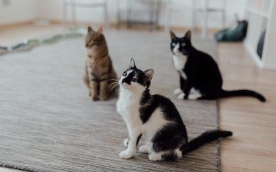 Detección precoz de la leucemia felina (FeLV) y la inmunodeficiencia felina (FIV)